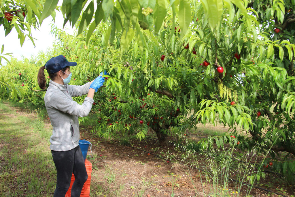 mascarillas recolección fruta
